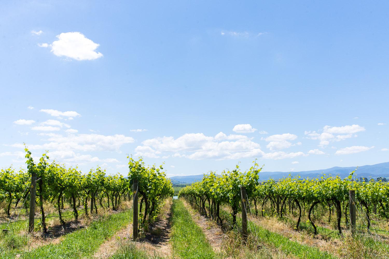 Wine-Yarra-Valley-Australia-10