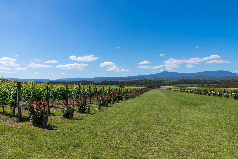 Wine-Yarra-Valley-Australia-16