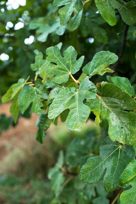 Fig-Tree-Formentera-1-2