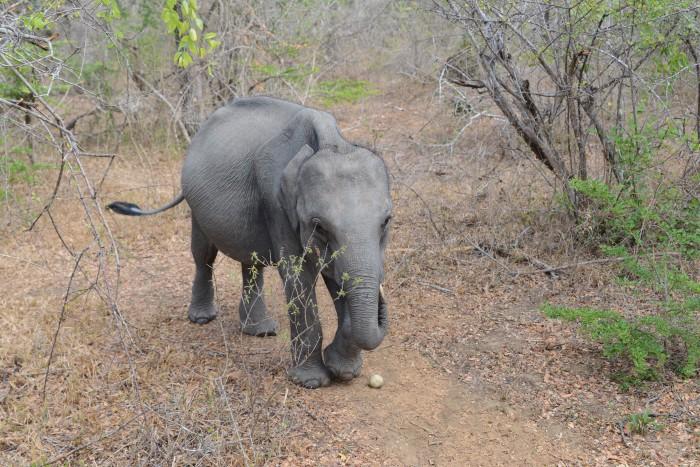 Baby Elephant at Yala National Park, Tissa - Sri Lanka