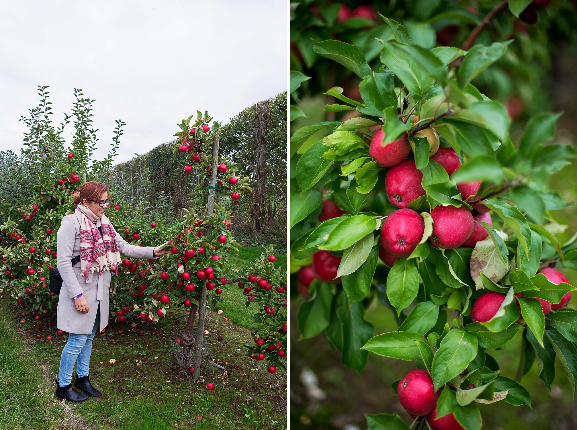 Apple Orchard Guided Tour at Brogdale Farm in Faversham, Kent