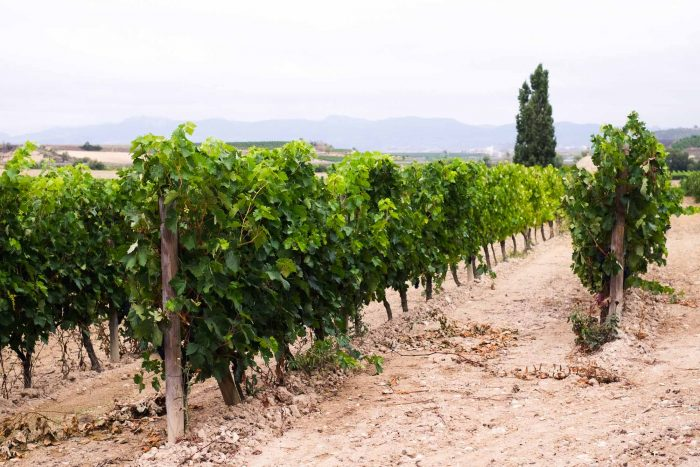 Vineyards - A Wine Trip to Bodegas Beronia in Ollauri - Rioja, Spain