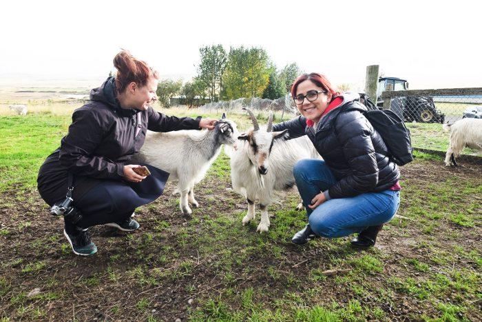 Háafell Goat Center in Iceland