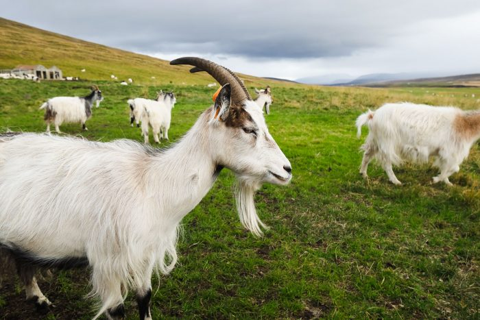 Háafell Goat Center in Iceland