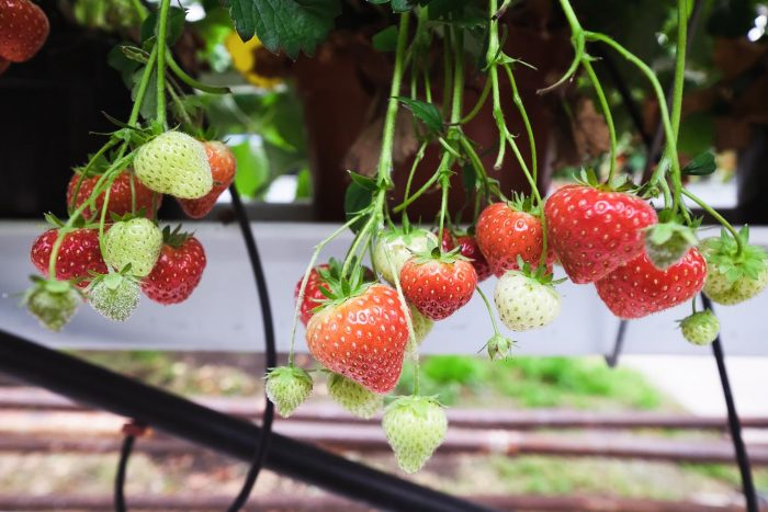 Strawberries from Solbyrgi, a geothermal greenhouse in West Iceland
