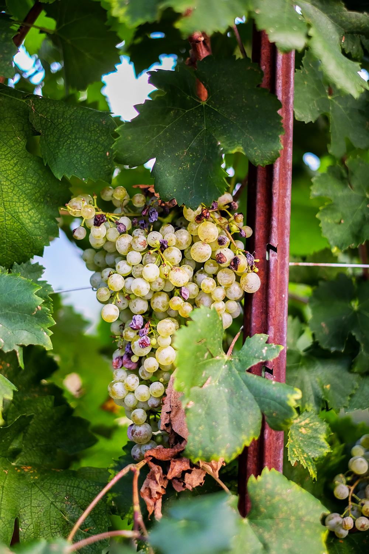 Glera grapes | A visit to Conegliano Valdobbiadene, the home of Prosecco wine in Veneto, Italy