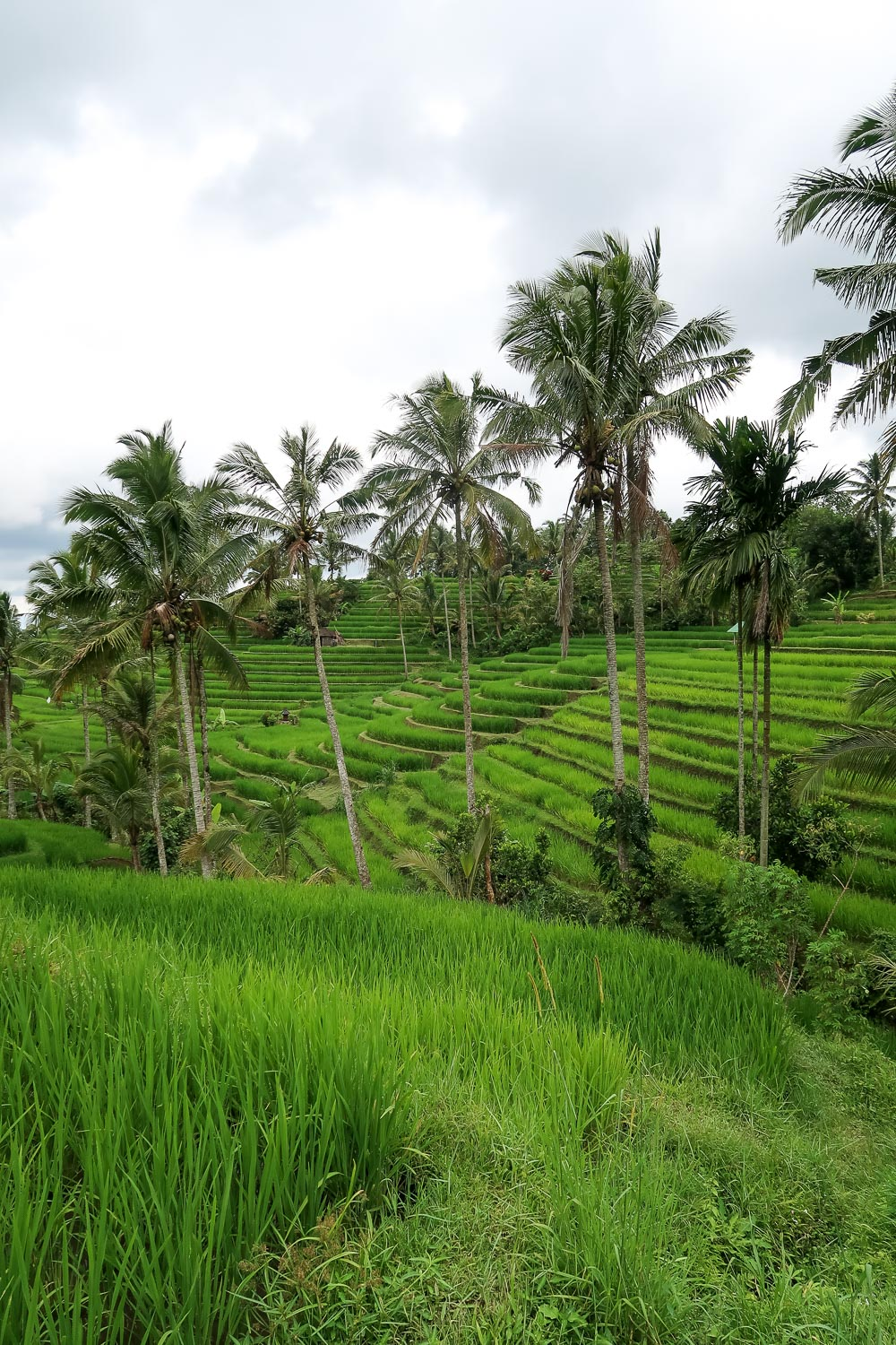 Jatiluwih Rice Terraces, Unesco site in Bali