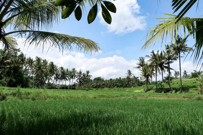My daily view of rice terraces and palm trees on the outskirts of Ubud in Bali