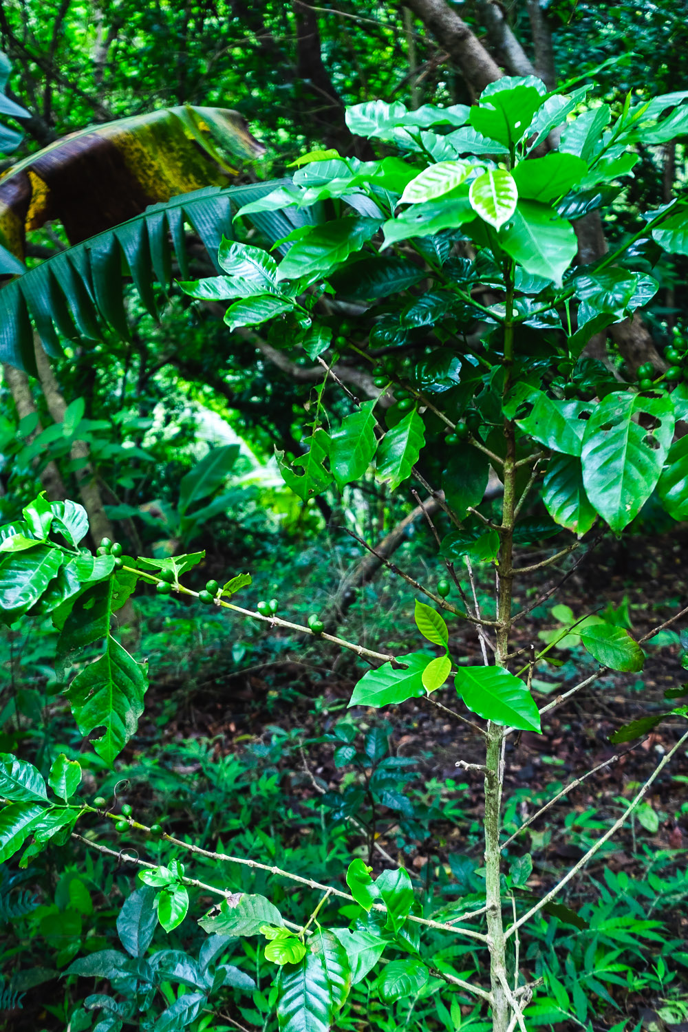 Coffee plant at Coco Hill Forest | A 5-Day Itinerary of What to See and Eat around Barbados