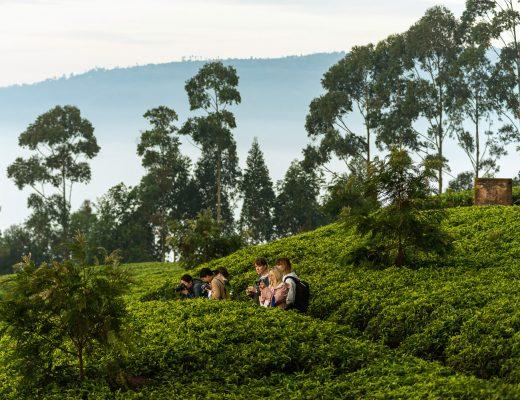 Sorwathe tea estate in Rwanda