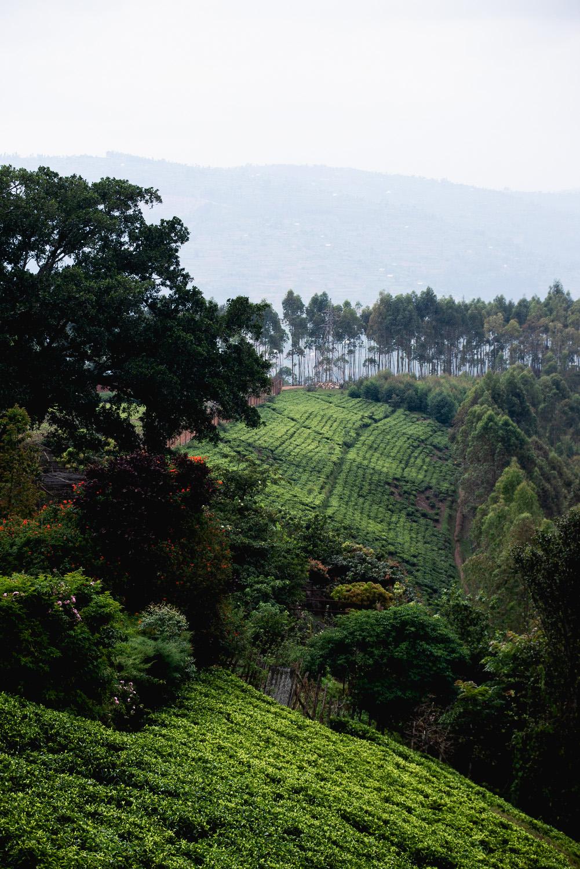 Sorwathe tea estate in Kinihira, northern Rwanda