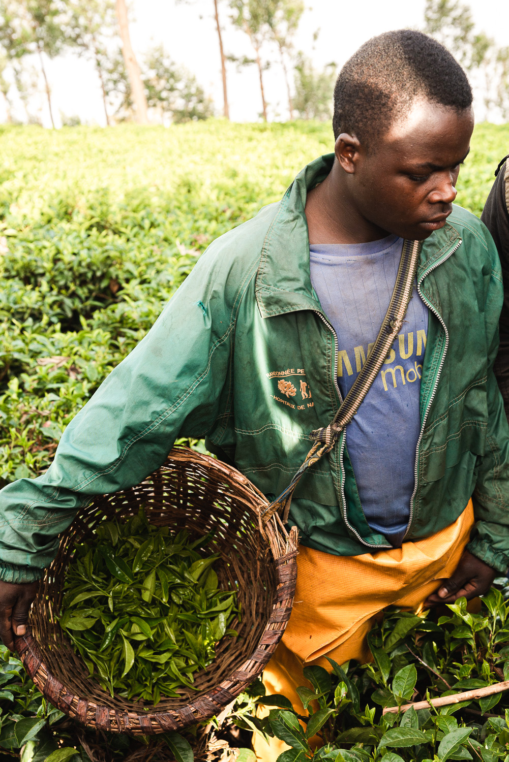 Tea plucking at Sorwathe (Tea Importers Inc.) plantation in Kinihira district, Rwanda