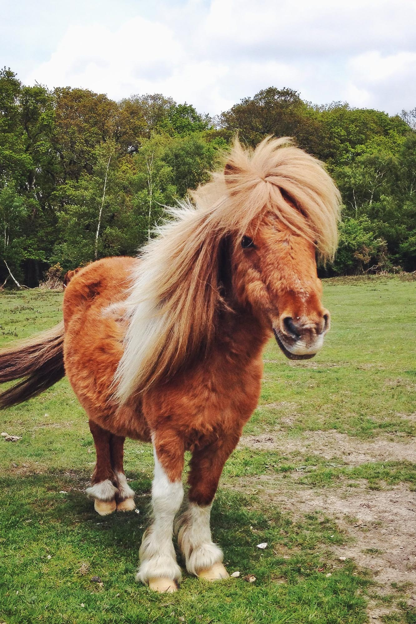 A New Forest Pony, a breed found in the New Forest National Park in southern England, UK