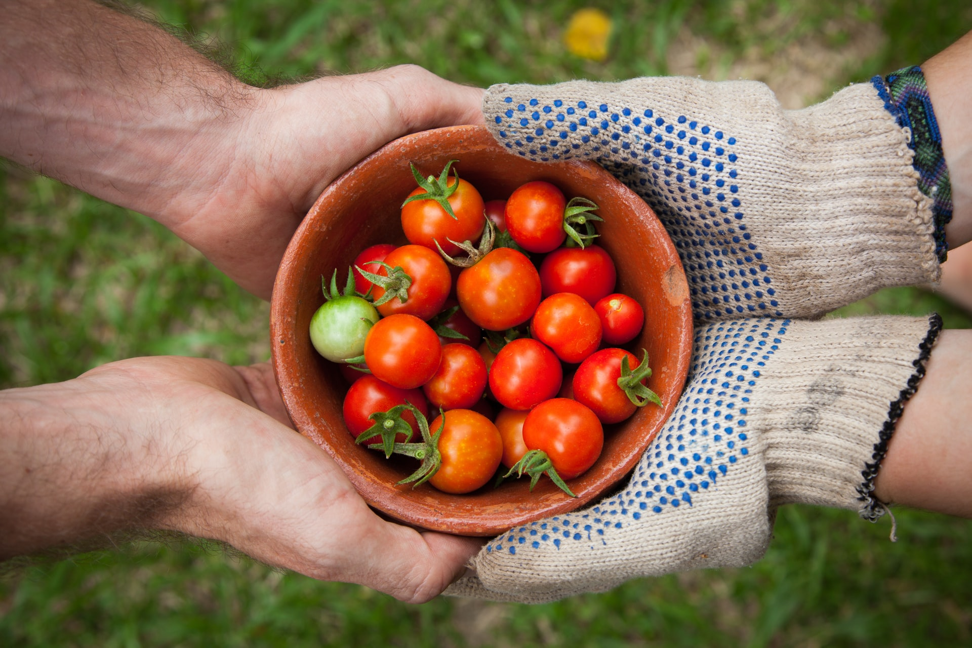 Hands holding a bowl of fresh tomatoes in a vegetable garden