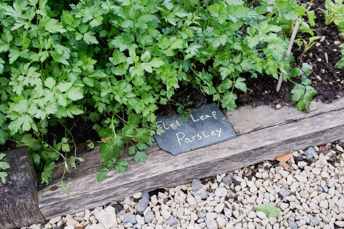 Fresh parsley in the vegetable garden at The Pig Hotel, New Forest, England